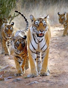Wildlife Tour, Wildlife Tour by Kesari, Wildlife Tours, Wildlife Tours,Wildlife Tours in India,Wildlife Tour Packages, Tiger Safari in India, Jungle Tours in India, India Wildlife Tour Packages